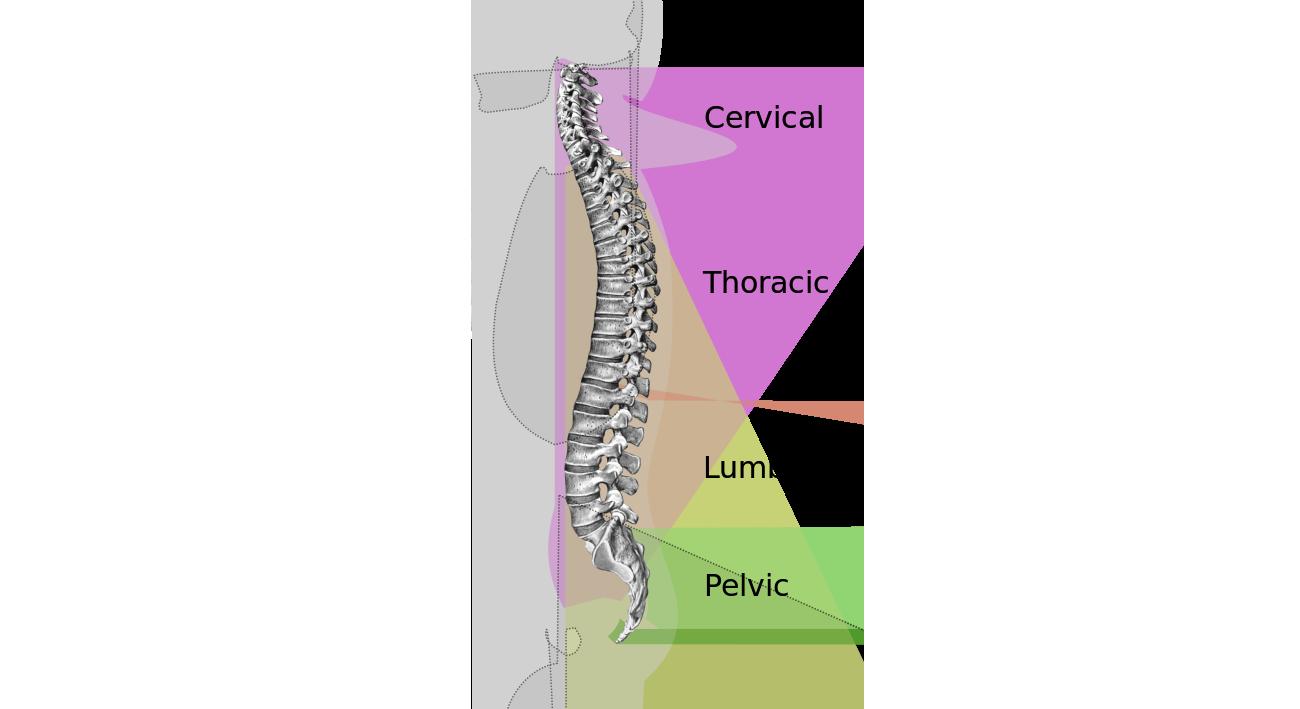 Man opdeler rygsøjlen i tre dele udover bækkenet. De tre dele er: halsdelen (Cervical), brystdelen (Thoracic) og lændedelen (Lumbar). Kilde: https://da.wikipedia.org/wiki/Rygs%C3%B8jle#/media/File:Spinal_column_curvature-en.svg
